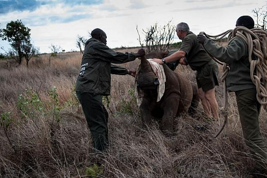 Patrick Themby (right) readies the guide rope as members of the Kruger National Park Veterinary Wildlife Services in South Africa ensure the young white rhinoceros is properly sedated before handling the animal on Oct 17, 2014. -- PHOTO: AFP