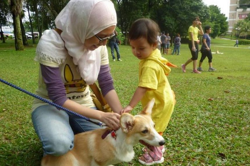 """A young participant at the """"I Want To Touch A Dog"""" event approaches a Corgi tentatively.-- PHOTO: THE STAR/ASIA NEWS NETWORK"""
