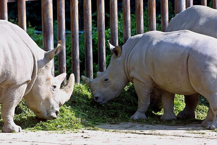 A picture taken in October 2004 shows the northern white rhinoceros Fatu (centre) at the Dvur Kralove zoo, east Bohemia. A male white rhinoceros, called Suni, who was born in Dvur Kralove zoo in 1980 died at Kenya's ol Pejeta Conservancy reserve, the
