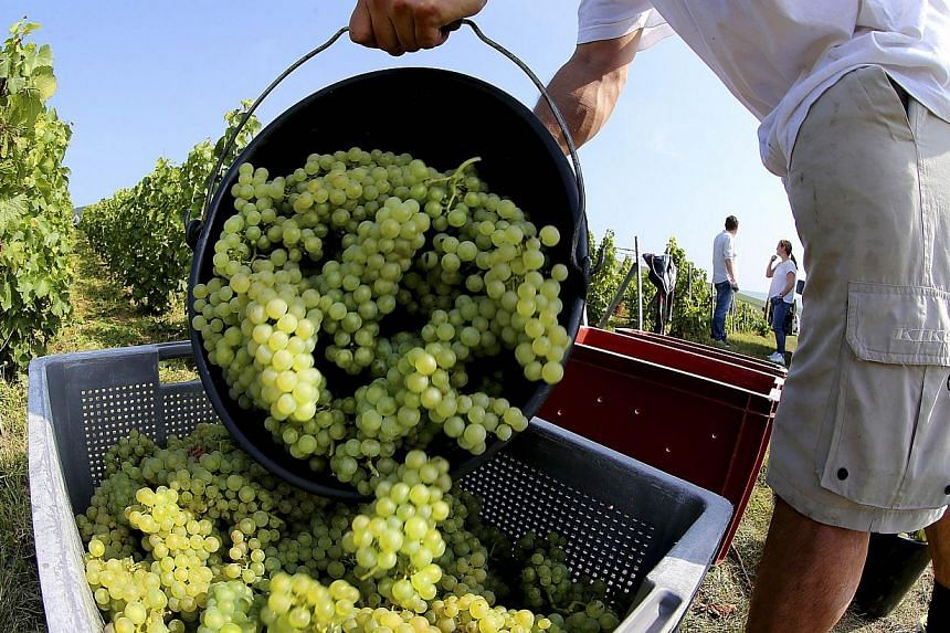 A worker empties a bucket full of wine-grapes during the grape-harvest on the farm of an organic wine producer in Champagne, in Cumieres, eastern France, on Sept 8, 2014.  France on Saturday won the world blind wine-tasting competition for teams