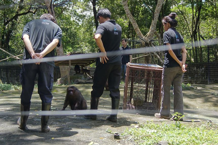 """Acres wildlife rescue officers attending monkey guard training at a sanctuary in Laos last year. The group says """"directing"""" monkeys away from residential areas is a better method than culling them. Monkeys being guided away from residential areas dur"""