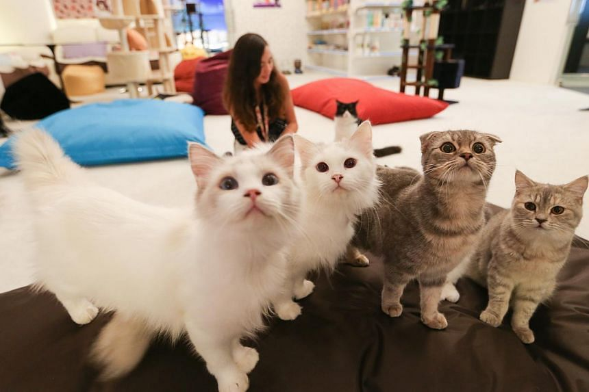 Cuddles Cat Cafe, the largest cat cafe yet to open in Singapore. -- ST PHOTO:ONG WEE JIN