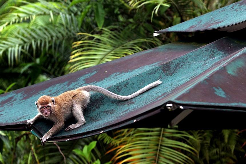 Wildlife rescue group Acres has proposed to the authorities a method of dealing with the monkey problem in residential areas. -- PHOTO: ST FILE
