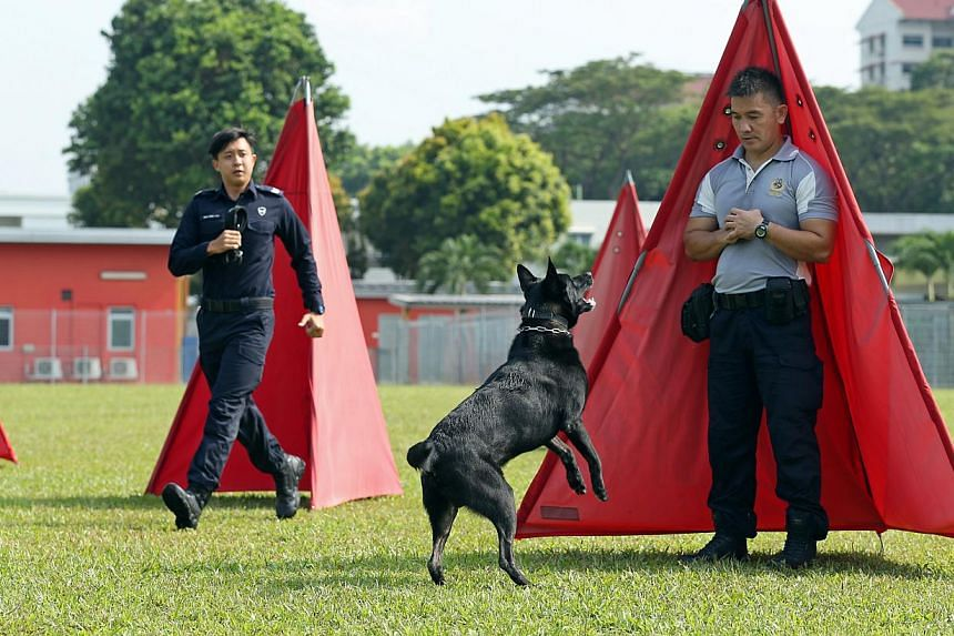 "Corporal Spencer Lim (left) guiding mixed cocker spaniel Murphy through drug detection training in a simulated airport luggage handling area. Sergeant Seah Zhen Yao (right) arriving at the scene after belgian shepherd Diezel locates a ""target"" during"