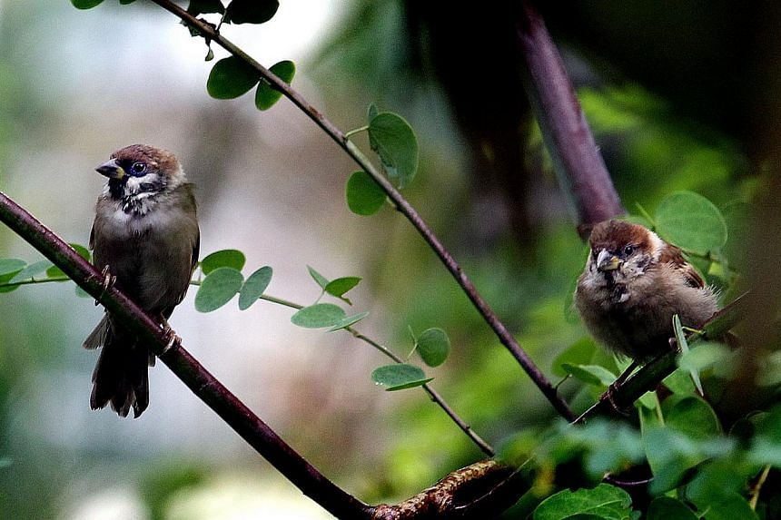 Two sparrows can be seen in this file photograph. Europe has an estimated 421 million fewer birds than three decades according to a new study. The list includes sparrows. -- PHOTO:ST FILE
