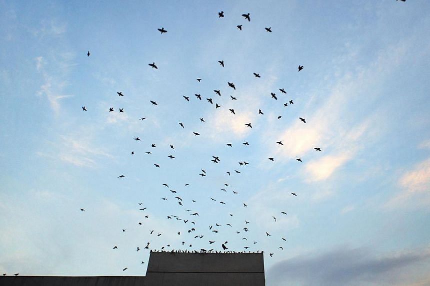 Starlings seen flying off from a roof in Singapore. Europe has an estimated 421 million fewer birds than three decades according to a new study. -- PHOTO: ST FILE