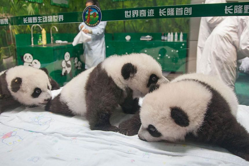 A handout photo taken and released on Nov 5, 2014, by Chimelong Safari Park shows a set of panda triplets, known as the world's only surviving trio, meeting the public as they reach 100 days old in Chimelong Safari Park in Guangzhou, south China's Gu
