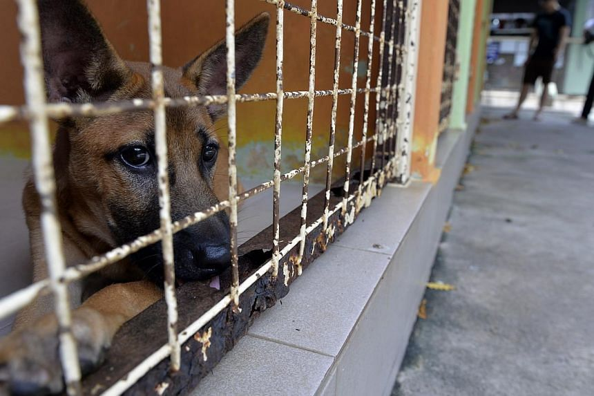 A dog in an enclosure at the Society for the Prevention of Cruelty to Animals (SPCA). -- PHOTO: ST FILE
