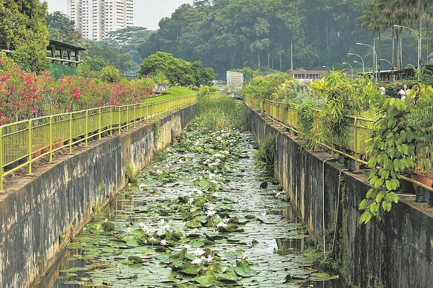 Water lilies being grown in a canal at the Pasir Panjang Nursery. -- ST PHOTO: KUA CHEE SIONG