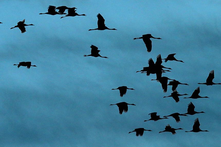 Cranes fly at dawn on Nov 7, 2014 over the Der artificial lake in eastern France, where thousands of migratory birds stopover while heading back to Spain. -- PHOTO: AFP