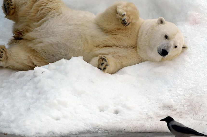 A polar bear takes a sun bath at Moscow's zoo on Sept 12, 2014, in Moscow. -- PHOTO: AFP