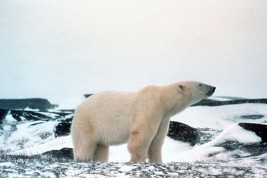 Alaska may be cold but polar bears are equippedto handle the weather. -- PHOTO: HANDOUT