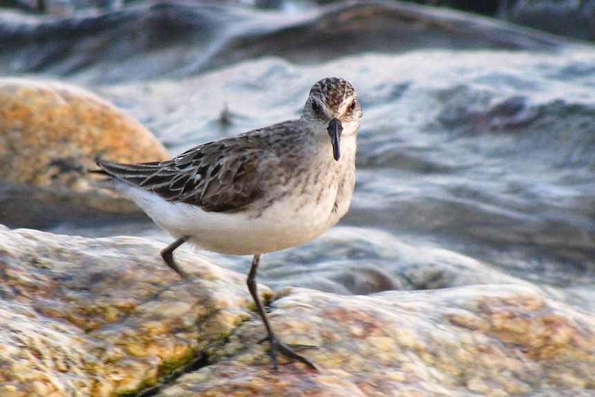 Semipalmated Sandpiper. -- PHOTO: WILL SWEET/CREATIVE COMMONS
