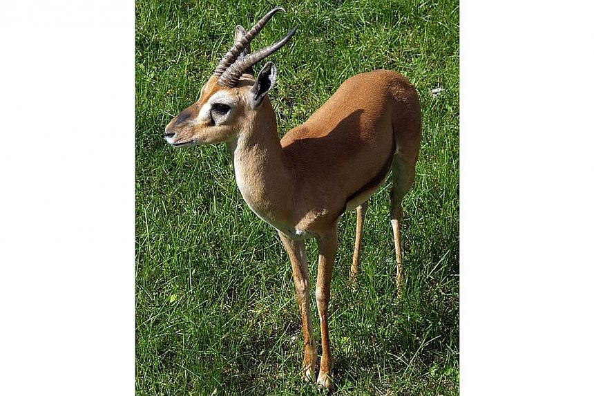 Red-fronted gazelle. -- PHOTO: WIKIPEDIA COMMONS