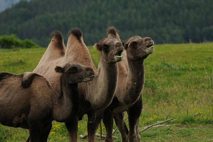 Bactrian camels at Highland Wildlife Park, Scotland. -- PHOTO: AARON SNEDDON/WIKIMEDIA COMMONS