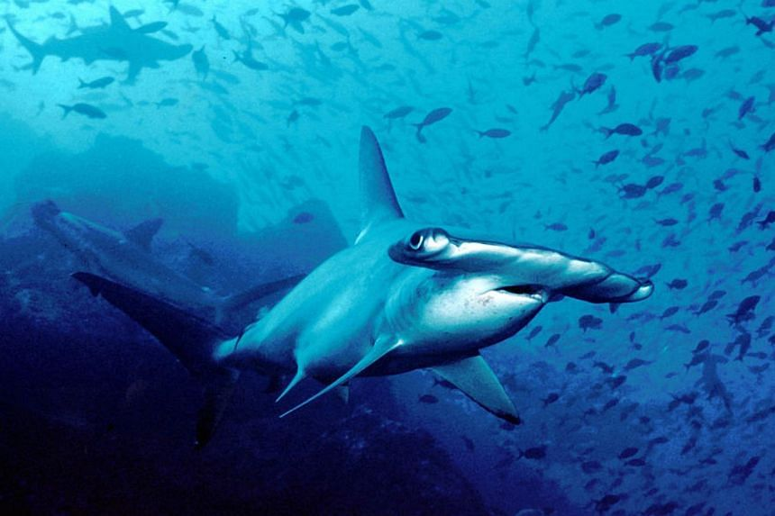 Hammerhead shark, Cocos Island, Costa Rica. -- PHOTO: BARRY PETERS/WIKIMEDIA COMMONS