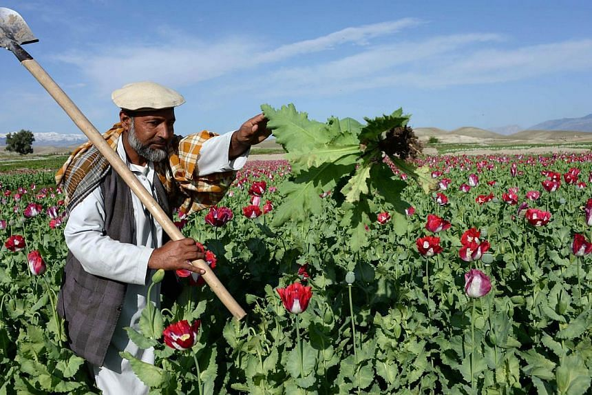 An Afghan farmer works in a poppy field on the outskirts of Jalalabad, capital of Nangarhar province on Apr 12, 2014. Opium poppy cultivation in Afghanistan reached a record high in 2014, a United Nations report revealed on Wednesday, highlighting th