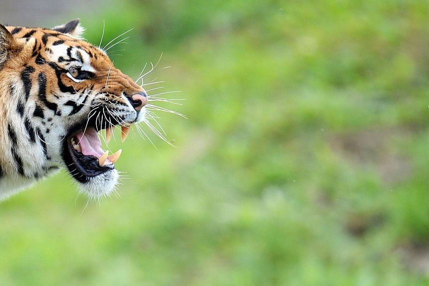 Police and firefighters were desperately hunting for a tiger on the loose near Paris Thursday after a local resident took a photo of the fearsome animal and sounded the alert, authorities said. -- PHOTO: AFP