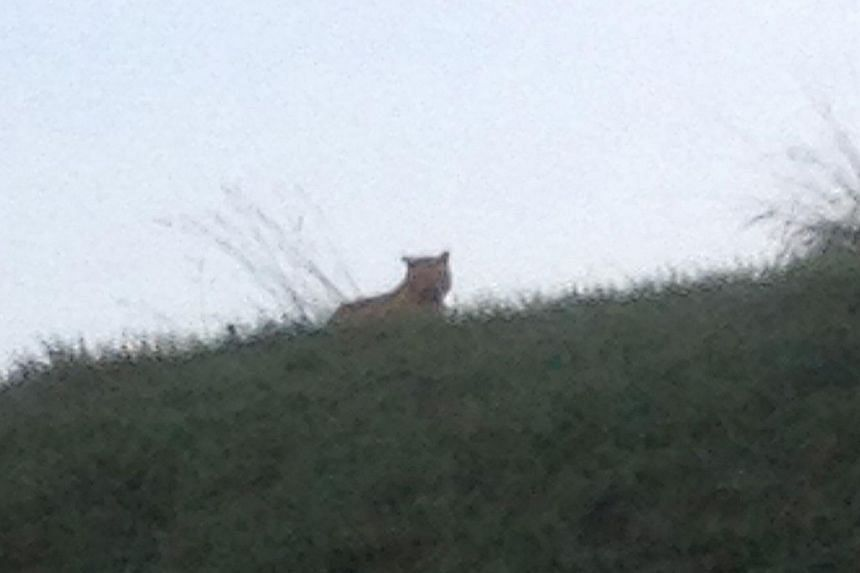 A picture taken by a passerby shows a tiger on the loose walking in Montevrain, east of Paris, on Nov 13, 2014. Police and firefighters were desperately hunting for a tiger on the loose near Paris on Nov 13 after a local resident spotted the fearsome