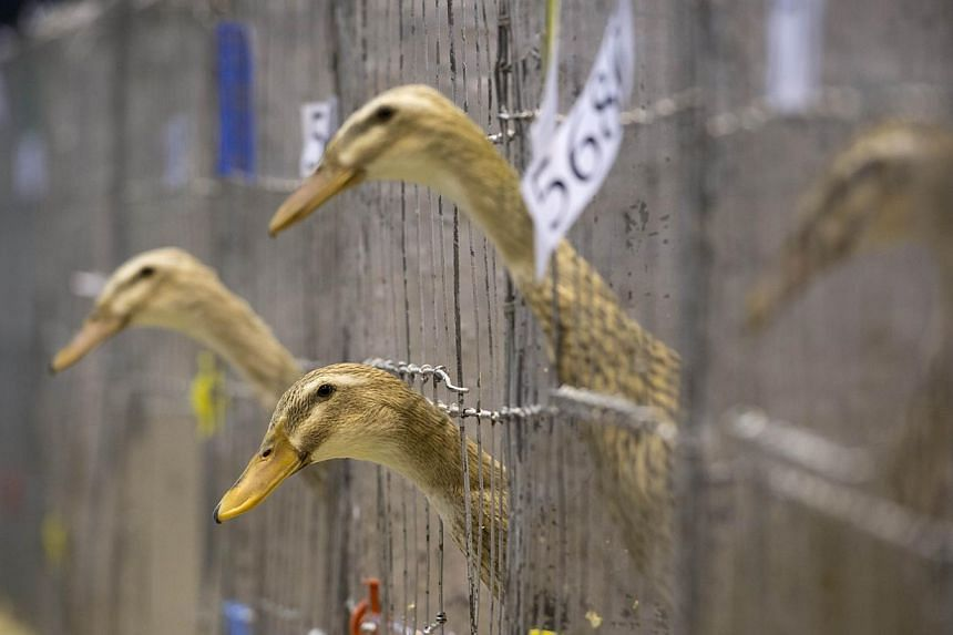 A case of bird flu has been found on a duck-breeding farm in northern England, the government said on Monday, though the case was not the deadly H5N1 strain, officials told the BBC. -- PHOTO: AFP