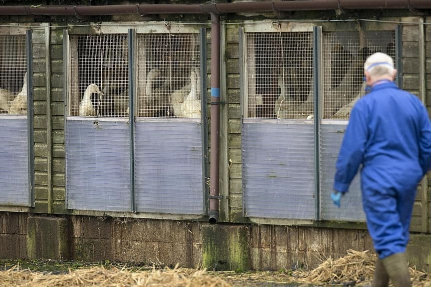 A man wearing a face mask walks through a duck breeding farm where a case of bird flu has been identified in Nafferton, in Yorkshire, north east England, on Nov 17, 2014. -- PHOTO: AFP