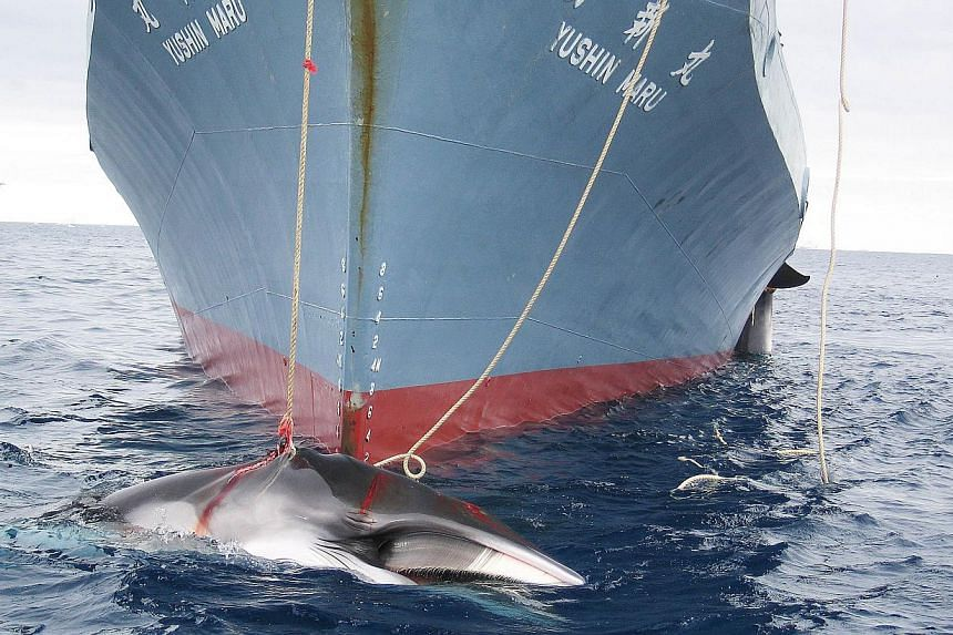 A file undated handout photo released on Feb 7, 2008, shows a whale (front) and another (partly seen at right) being dragged on board a Japanese ship after being harpooned in Antarctic waters. Japan has cut its Antarctic whale-catch quota by two-thir