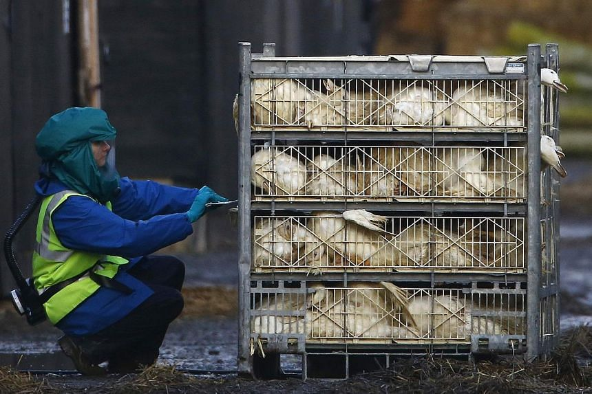 An official inspects a crate of ducks during a cull at a duck farm in Nafferton, northern England, on Nov 18, 2014.Ukraine has banned imports of all live birds and bird products from Britain, the Netherlands and Germany due to bird flu cases in