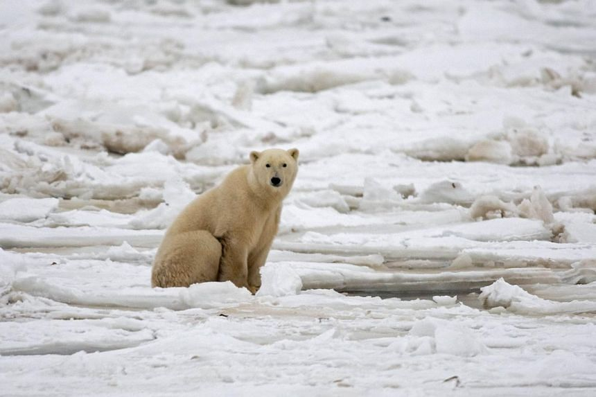 A polar bear sitting on the Hudson Bay fresh ice next to a hole in the ice and close to the shore waiting for a seal meal outside Churchill, Mantioba, Canada on Nov 15, 2007.The number of polar bears inhabiting a frozen sea north of Alaska decl
