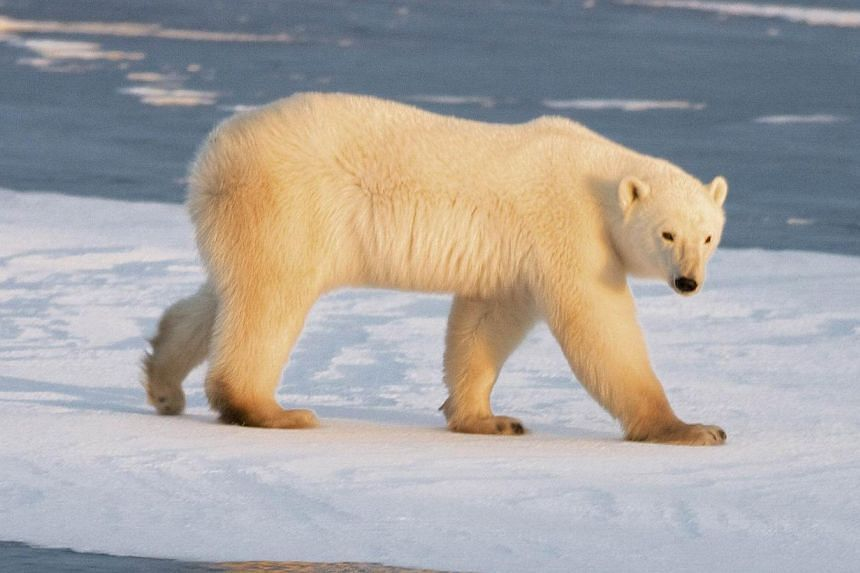 A polar bear walking on part of a frozen lake as the Hudson Bay freezes outside Churchill, Manitoba, Canada. According to a joint US-Canadian study published Nov 17, 2014, the number of polar bears in the southern Beaufort Sea experienced a sharp dec