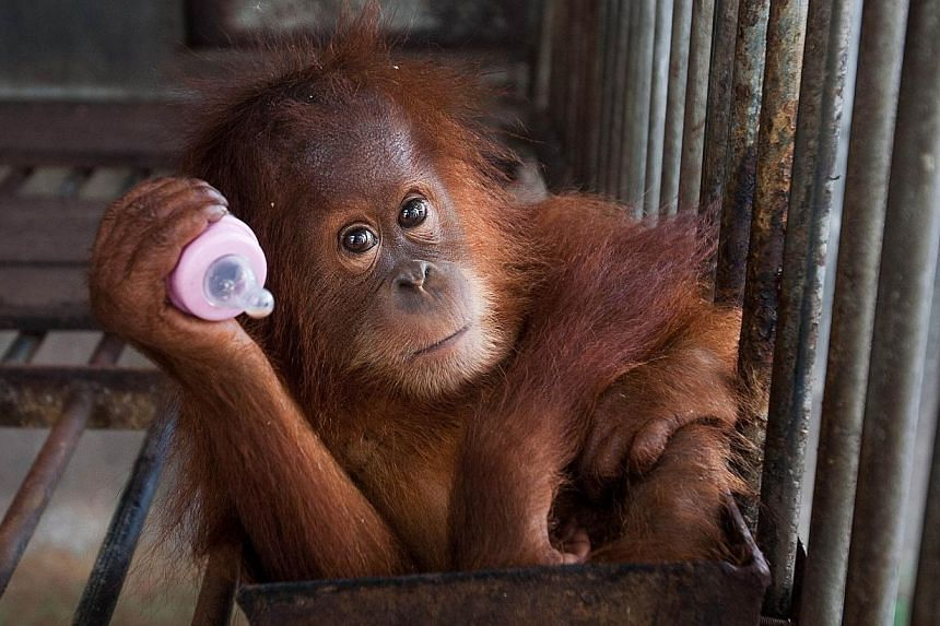 This picture shows a two-year old orangutan seized from a residents house at the provincial Nature Conservation and Agency (BKSDSA) office in Banda Aceh on Sept 16, 2014.-- PHOTO: AFP