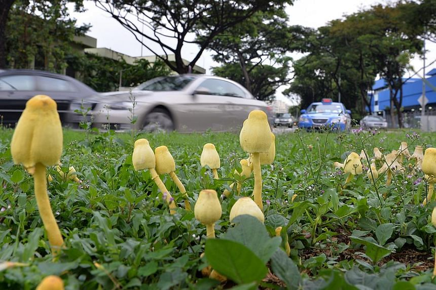Gilled mushroom known as Leucocoprinus growing along Braddell Road, just off the CTE exit on Nov 18 2014. They are quite close to another mushroom called Lepiota. Many species of Lepiotas and Leucocoprinus are toxic - so they should not be picked for