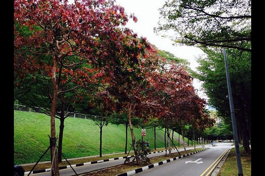 Trees sporting red leaves can be seen in places such as (clockwise from far left) East Coast Park, Everton Road and in the vicinity of Singapore General Hospital.