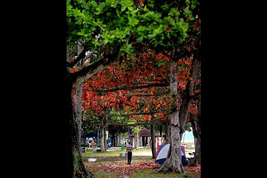 Autum in Singapore? Thanks to the change in weather, the leaves of some trees have turned to red and yellow. Photo taken on Nov 18, 2014 at East Coast Park, near carpark D. -- ST PHOTO: JAMIE KOH