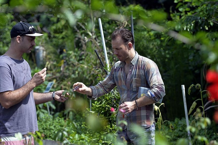 Danish chef Mads Refslund (right) and chef David Pynt from Burnt Ends (left) picking wild edible plants at Nanyang Technological University's Community Herb Garden. -- ST PHOTO: DESMOND FOO