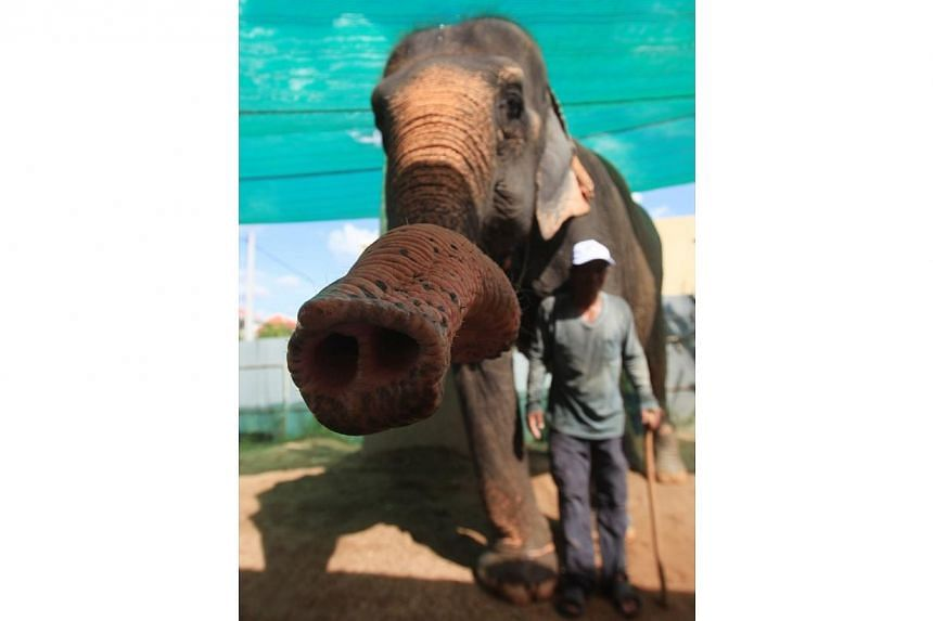 A mahout stands next to elephant Sambo during a farewell ceremony in Phnom Penh on Nov 25, 2014. -- PHOTO: REUTERS