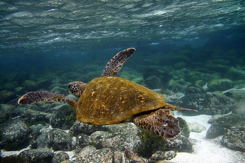 A Green sea turtle (Chelonia mydas) swims in the waters surrounding San Cristobal island, in Ecuador's Galapagos Archipelago, in the Pacific Ocean off the west coast of South America on Sept 1, 2009.Vietnam's environmental police have seized a