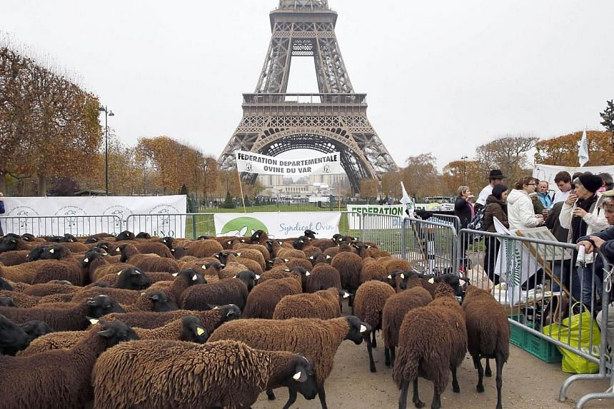 Sheeps stand at the Champ de Mars near the Eiffel Tower in Paris during a protest by farmers demanding an effective plan by the ecology ministry to fight against wolves following an increasing number of attacks on flocks on Nov 27, 2014. -- PHOTO: AF
