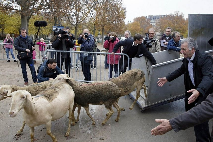 Sheeps arrive at the Champ de Mars in Paris during a protest by farmers demanding an effective plan by the ecology ministry to fight against wolves following an increasing number of attacks on flocks on Nov 27, 2014.-- PHOTO: AFP