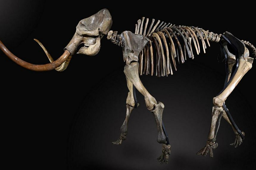 A handout picture created on Sept 1, 2014 and recieved from Summers Place Auctions on Nov 26, 2014 shows the 30,000- to 50,000-year-old mammoth skeleton dubbed Monty that was sold at Summers Place Auctions on Nov 26, 2014. Monty sold at auction to a