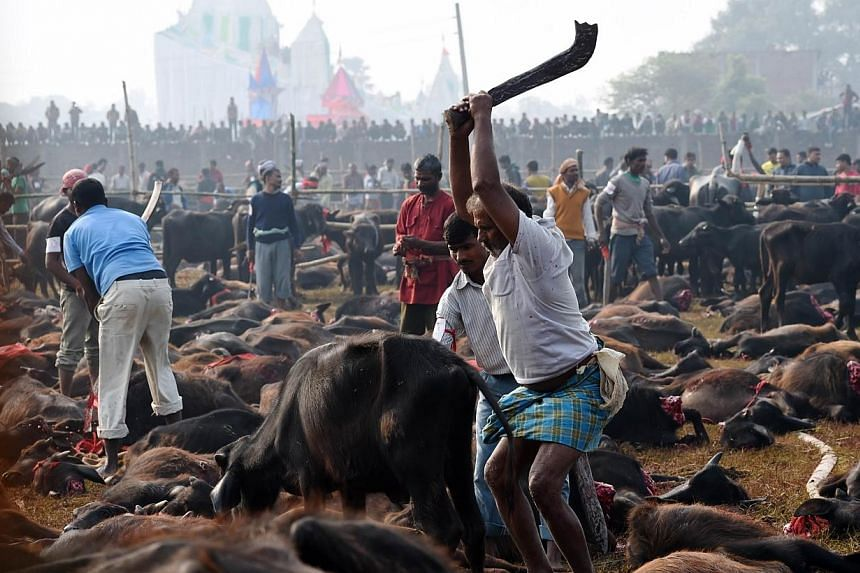 A butcher raises his blade over a buffalo calf before killing it during a mass slaughter of buffaloes for the Gadhimai festival inside a walled enclosure in the village of Bariyapur on Nov 28, 2014. More than two million Hindus massed in a