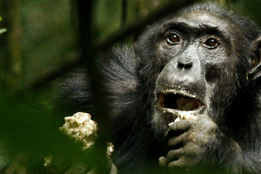 "A dominant male chimpanzee is seen in Uganda in this 2006 file photo. In the first case of its kind, a New York appeals court has rejected an animal rights advocate's bid to extend ""legal personhood"" to chimpanzees, saying the primates are incap"