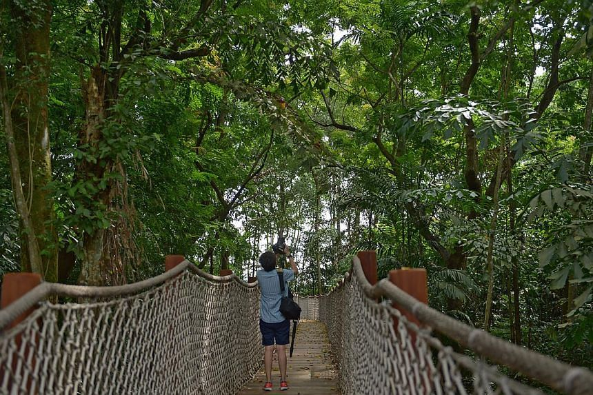 The mid-canopy walk at Sungei Buloh's new extension. -- ST PHOTO: JAMIE KOH