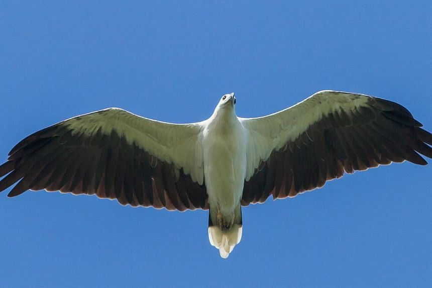 See the White-bellied Sea Eagle (above) and migratory birds on the coastal trail, and spot the pied fantail along the mid-canopy trail. -- PHOTO: FRANCIS YAP