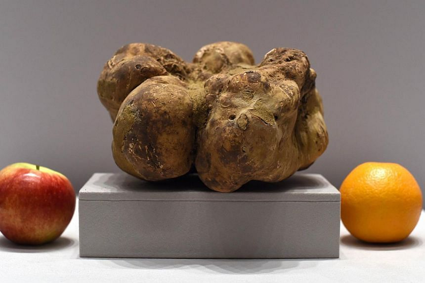 The world's largest white truffle (above) sold at auction Saturday for US$61,250 (S$81,000) - far less than the cool US$1 million its owner reportedly had hoped for. -- PHOTO: AFP