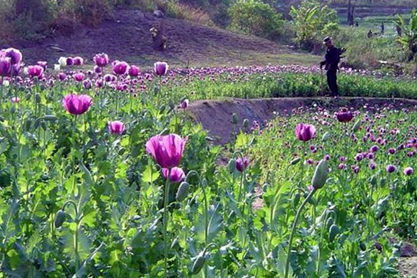 """This file picture shows a Thai soldier at an opium field.Opium poppy cultivation in Myanmar and Laos rose to 63,800 hectares in 2014 compared to 61,200 hectares in 2013, the UN Office on Drugs and Crime (UNODC) said in its latest """"South-east"""