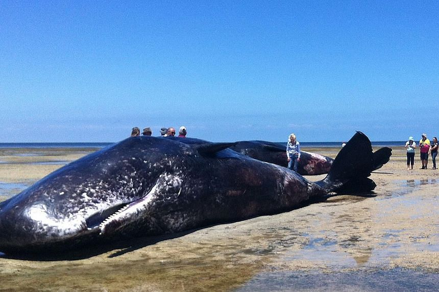 A handout photo taken and received on Dec 8, 2014, shows people standing around one of six sperm whales washed up dead in a rare mass stranding on the South Australia coast. -- PHOTO: AFP