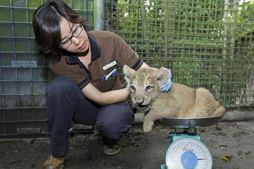 Two more endangered Asian lion cubs were born in the Night Safari in September, bringing the total number of offspring from the park's resident lions to a dozen. -- PHOTO: WILDLIFE RESERVES SINGAPORE