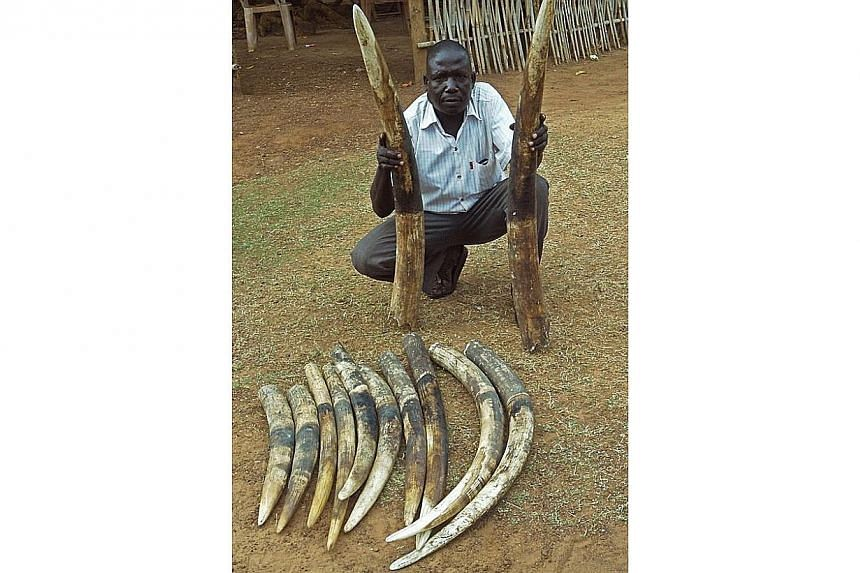 "A handout photo provided by the Wildlife Conservation Society shows a trafficker with ivory tusks in an undisclosed location in South Sudan on March 7, 2014. The slaughter of Africa's elephants and the illegal trade in ivory in China are ""out of"
