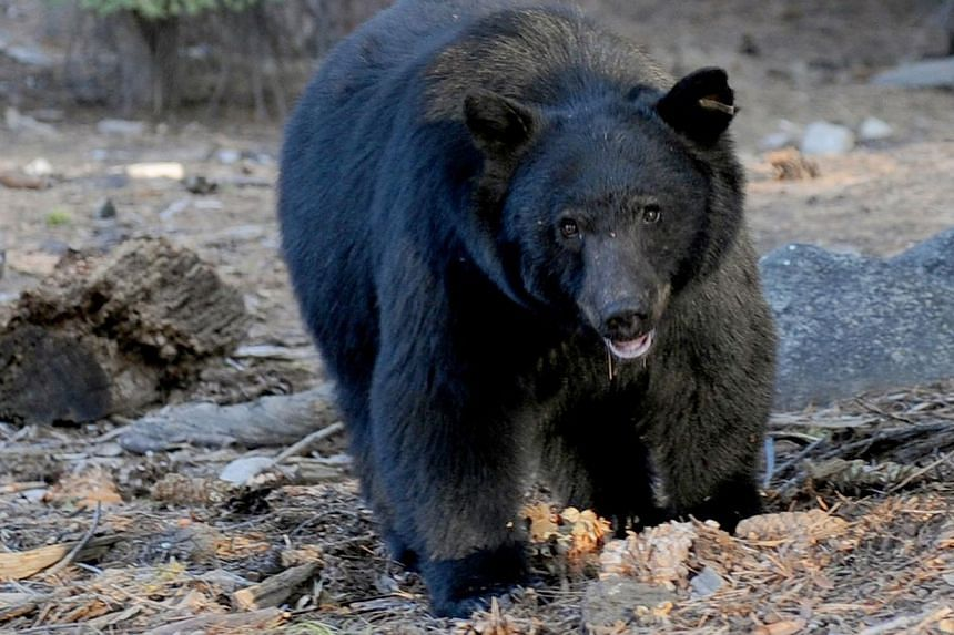 A black bear, like this one scavenging for food beside tourists near the famous General Sherman tree at the Sequoia National Park in Central California, caused a road accident in the US Everglades wetlands in the state of Florida that killed three pe