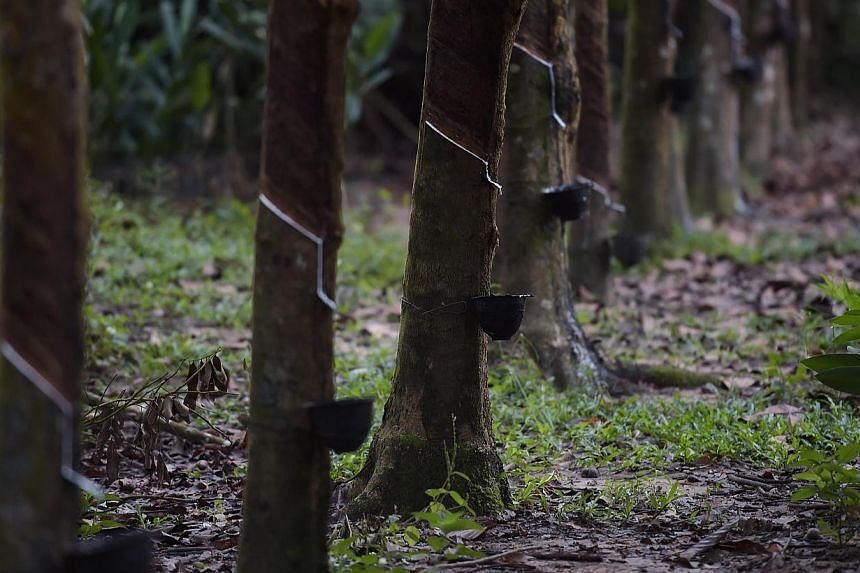 A rubber plantation in the Ka Po village of the southern Thai province of Phang Nga. A small group of around 50 rubber farmers gathered in Thailand's southern province of Surat Thani on Tuesday to demand more support from the military-led government